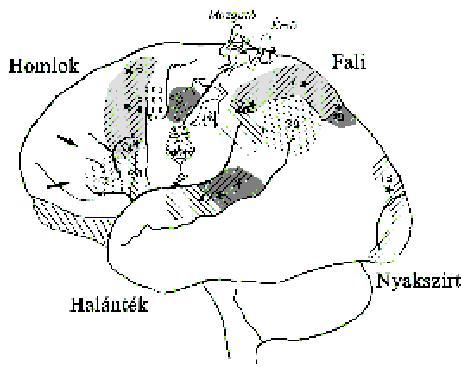 melyik agyterület felelős a látásért