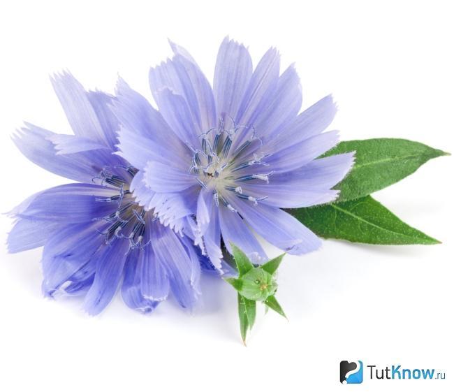 gyógyító növények, amelyek helyreállítják a látást
