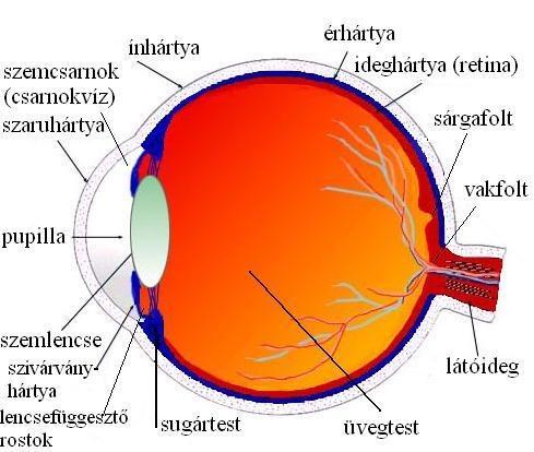 A szem felépítése, a látás folyamata -