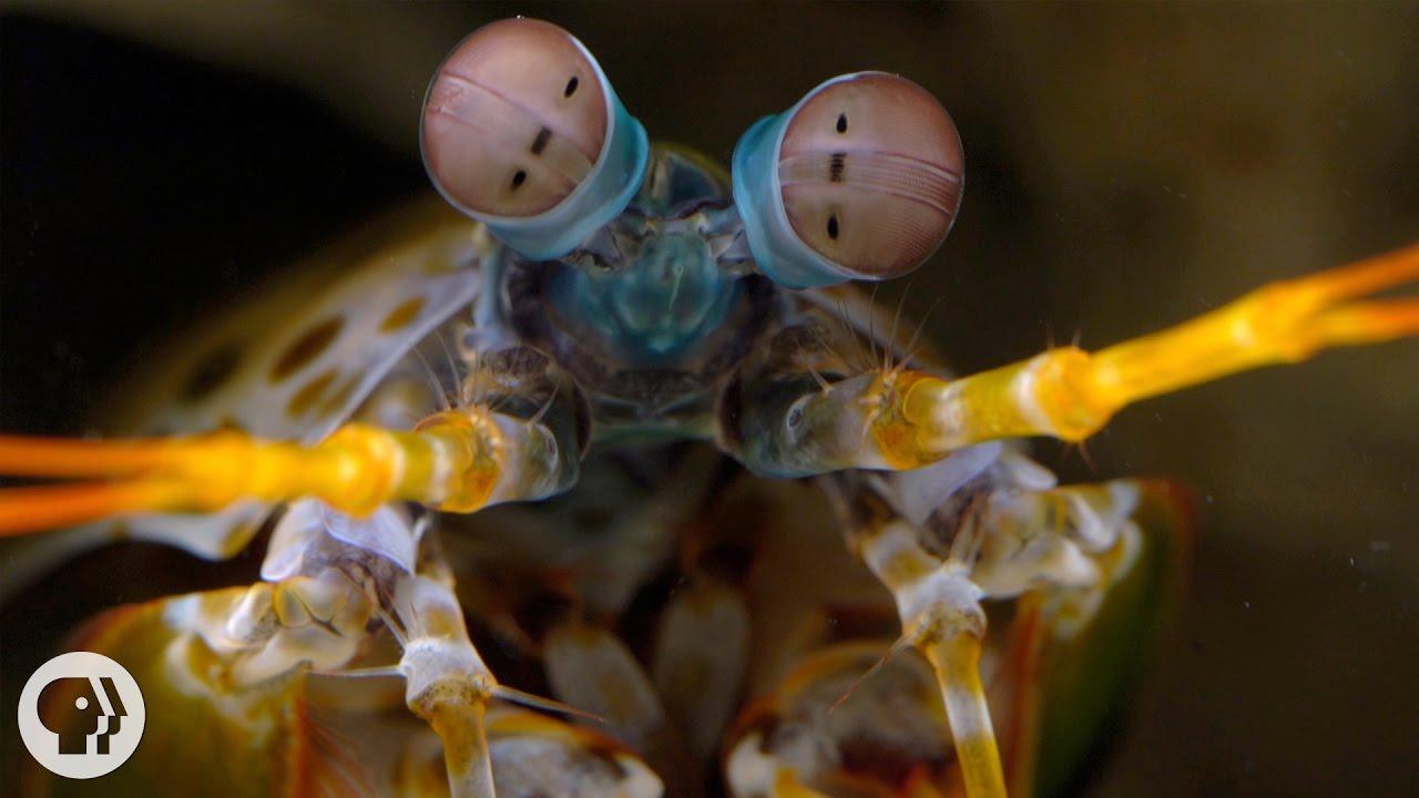 mantis garnéla látás