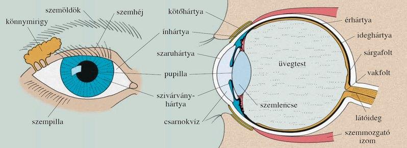 a látás segítségével érzékelik