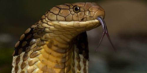 Naya kígyó. Indiai kobra