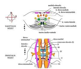 idegrendszeri látás)