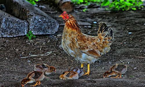 csirkék látásbetegsége