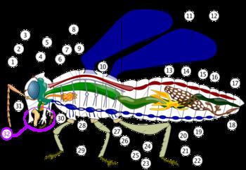 ízeltlábú látás típusok)