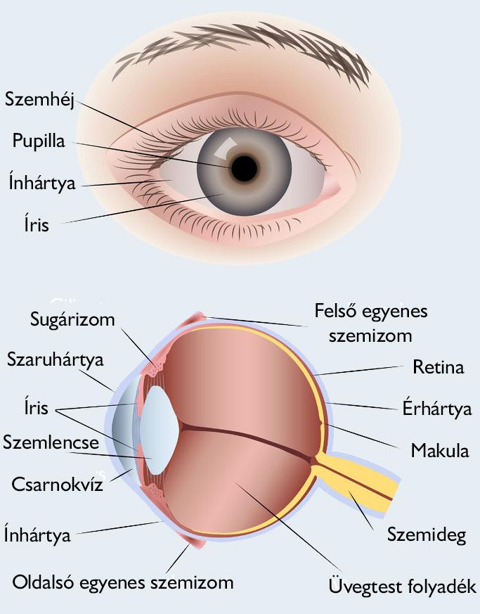 az emberi látás típusa