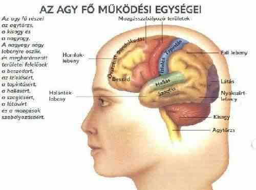 az agy látásért felelős részei