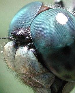Rovarok látása – Wikipédia