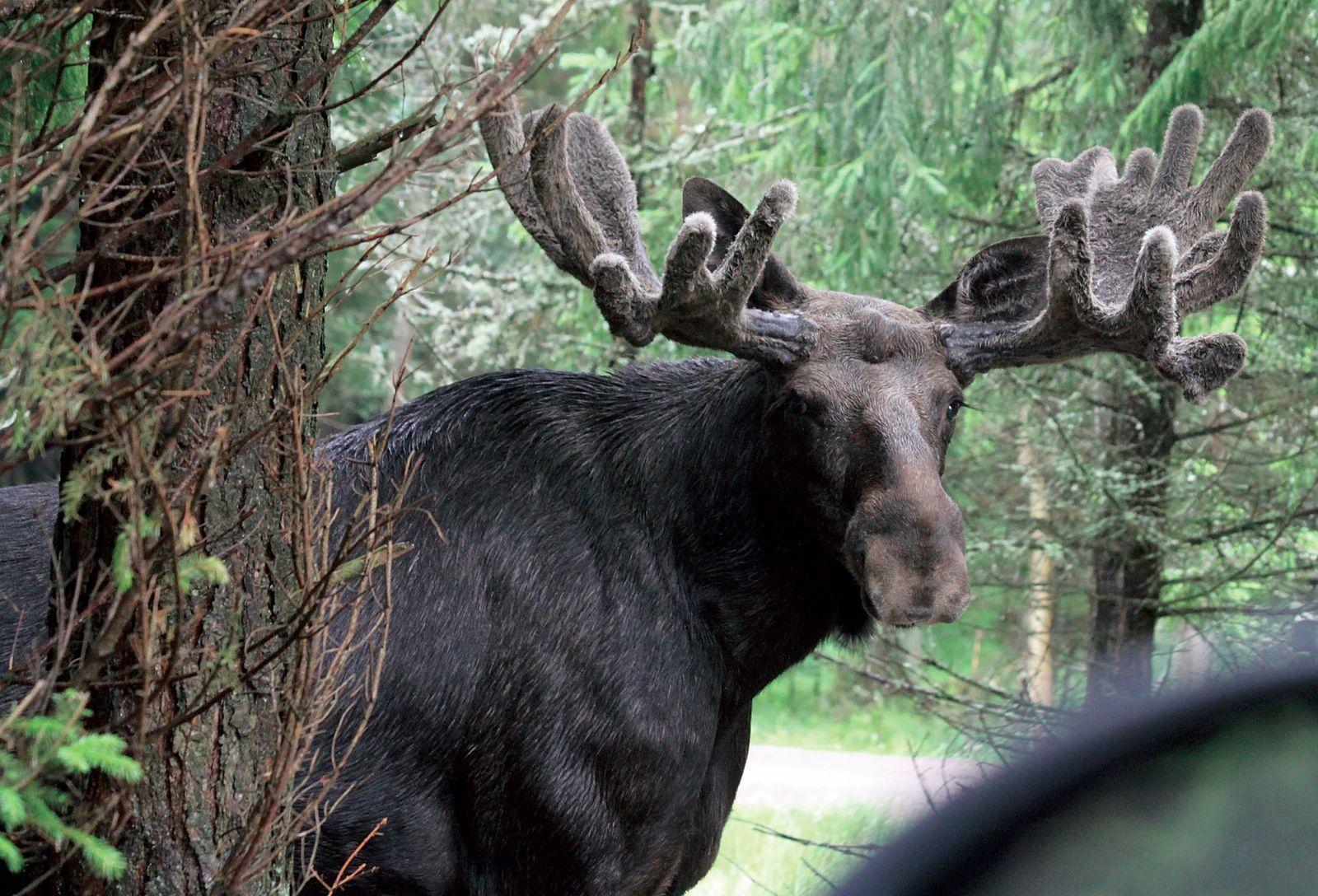 Szomorú látvány a gumiabronccsal a nyakában sétáló jávorszarvas – morzsaFARM