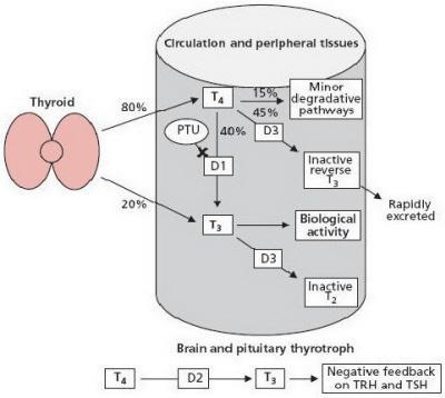 látás hypothyreosisban