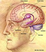 az agy látási része