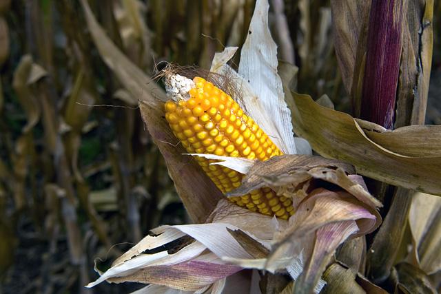 kukorica a látáshoz