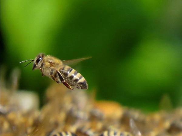 méh pollen látása)