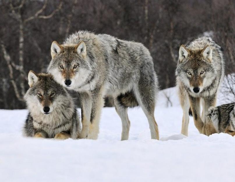 a farkasnak jó a látása
