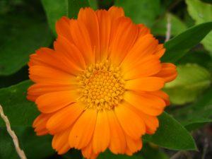 Körömvirág (Calendula officinalis) - Maria Treben patikája
