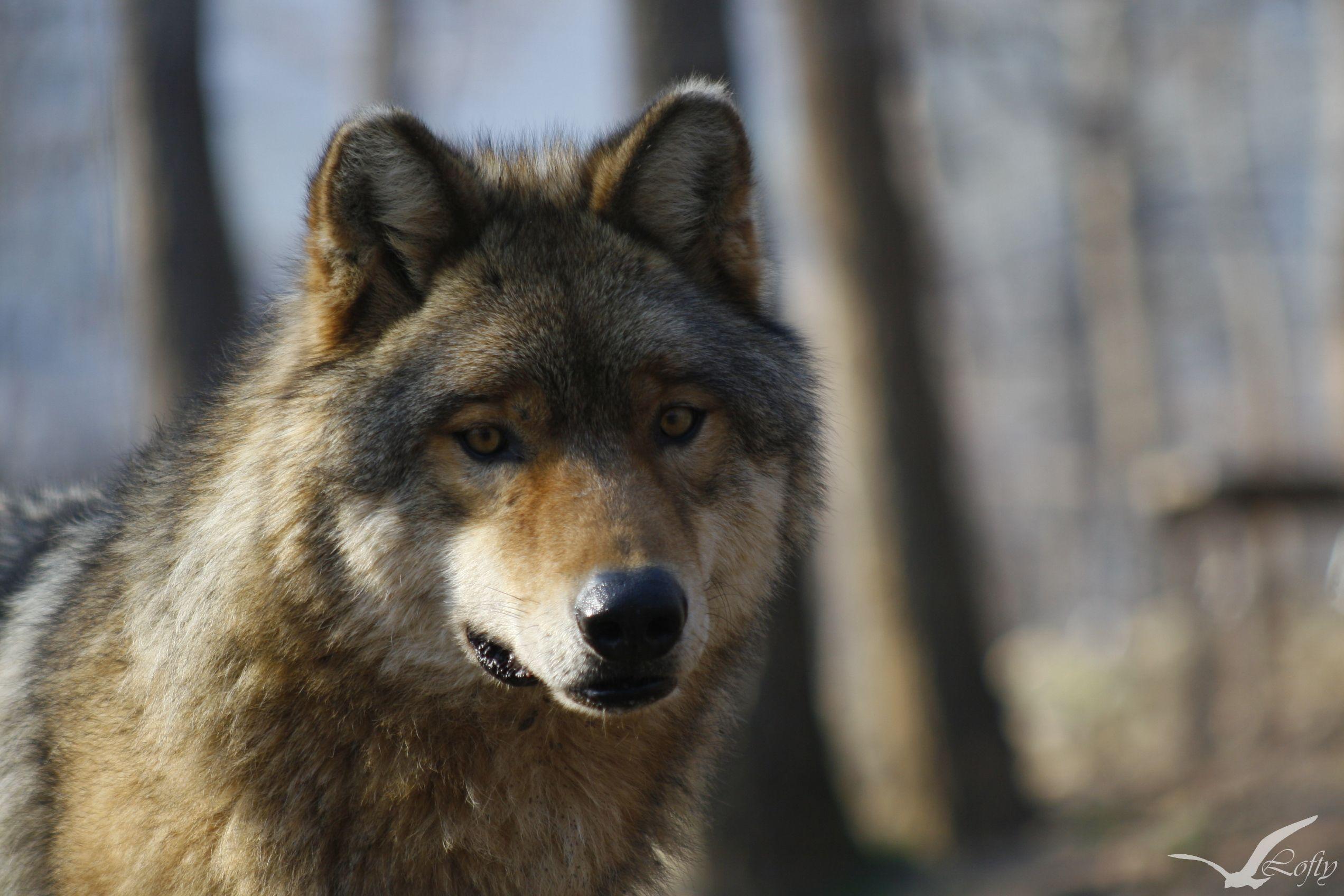 a farkasnak jó a látása hogyan befolyásolja az életkor a rövidlátást