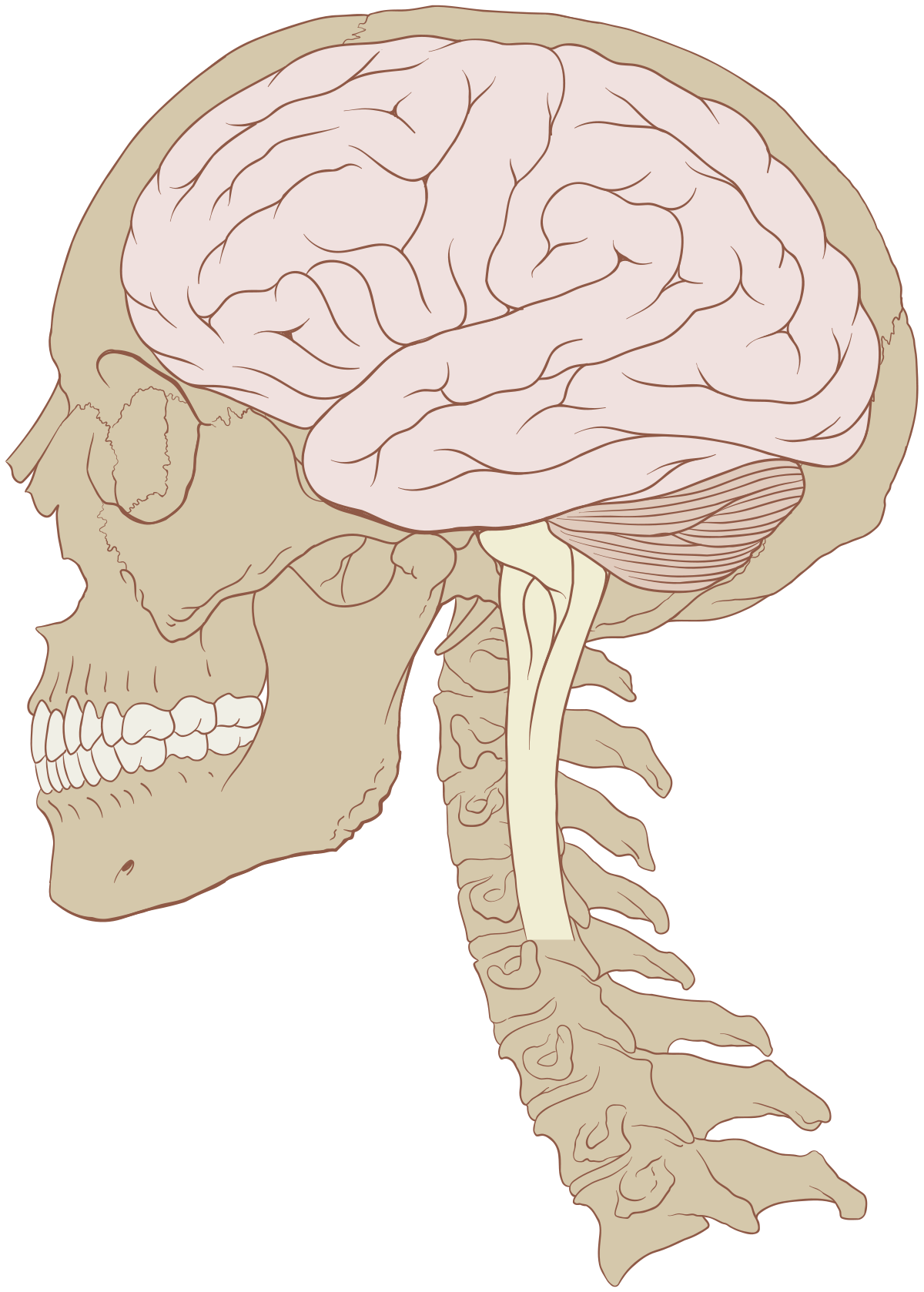 az agynak a látásért felelős része)