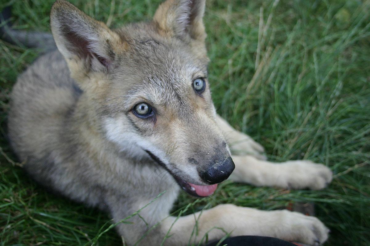 egy farkas látványáról