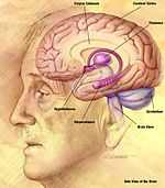 Az agy mely része felelős az emberi látásért
