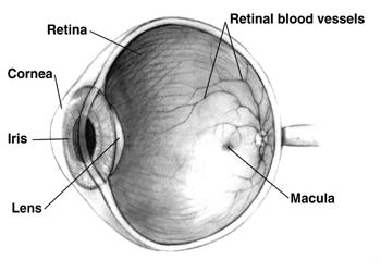 Algákból kinyert fényérzékenységet serkentő gén segíthet a látássérülteken   zonataxi.hu