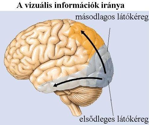 a fej látásért felelős része