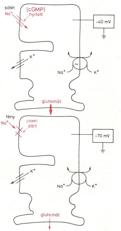 anyag a látás fejlesztéséhez
