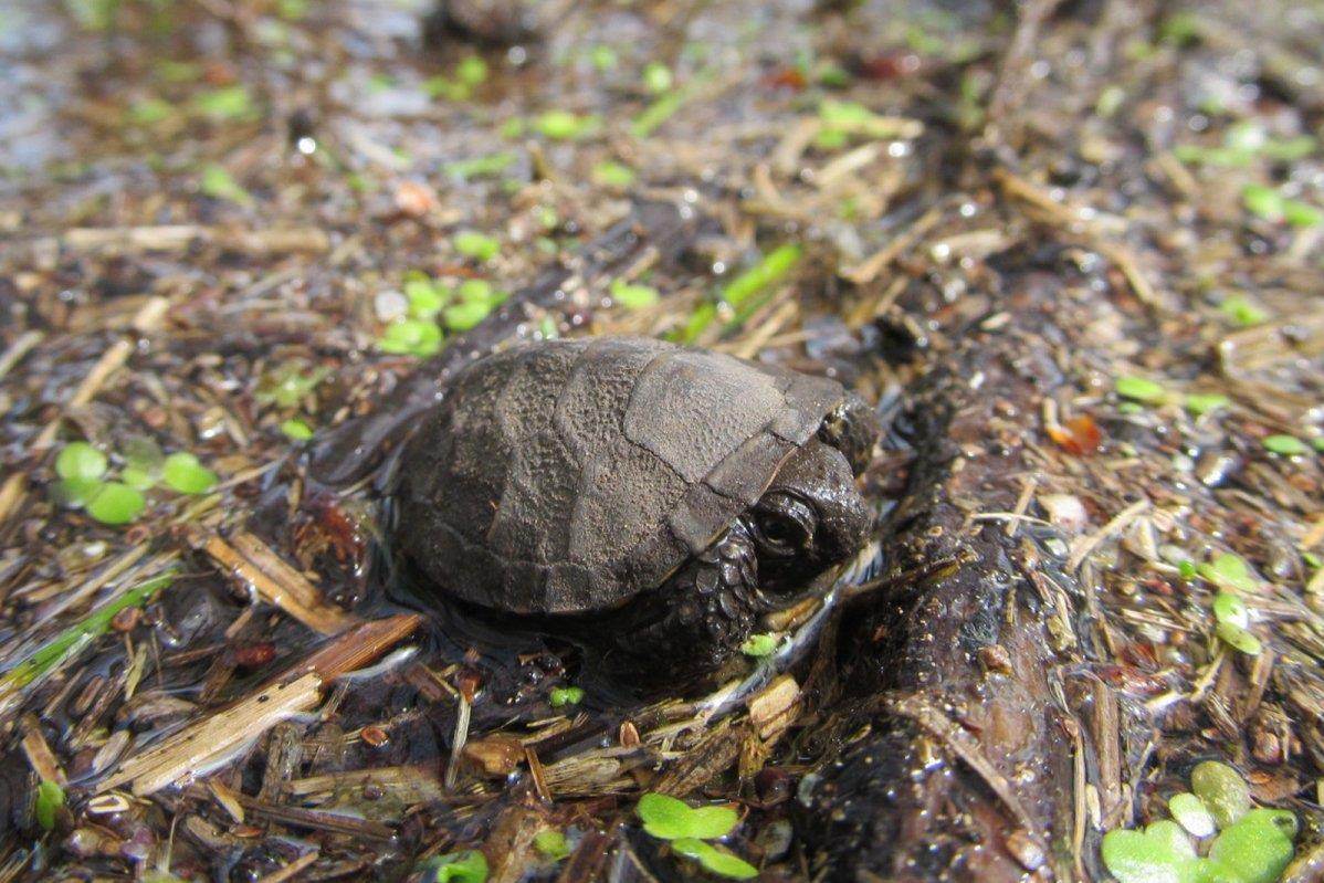 mi a látványa a kaszpi teknősnek?