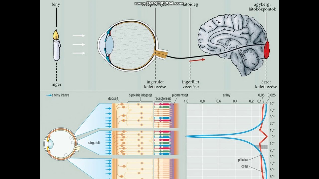 A látásvizsgálat táblája (Sivtsev tábla) - Rövidlátás -