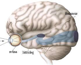 szem agy és látás