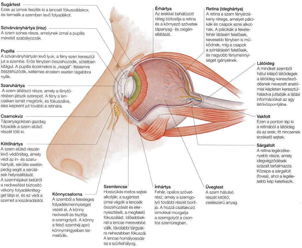 helyreállítja a látást és védi a szemét)