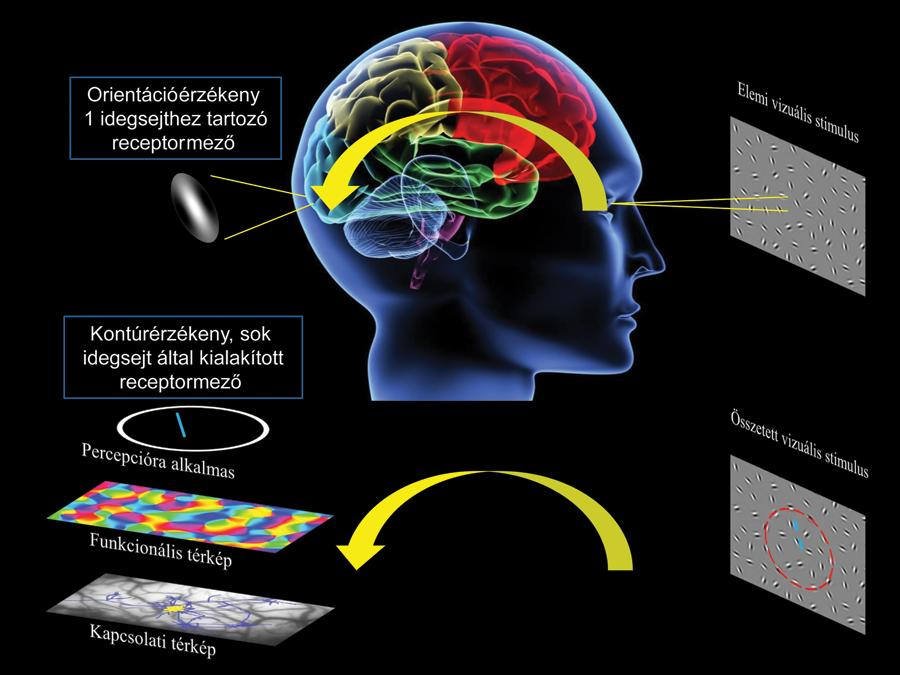 melyik agyterület felelős a látásért)