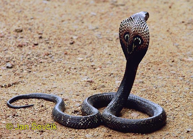 kobra a látása