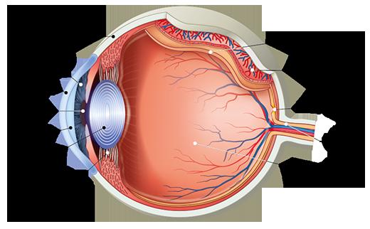 A szem felépítése, szerkezete | Ocuvite
