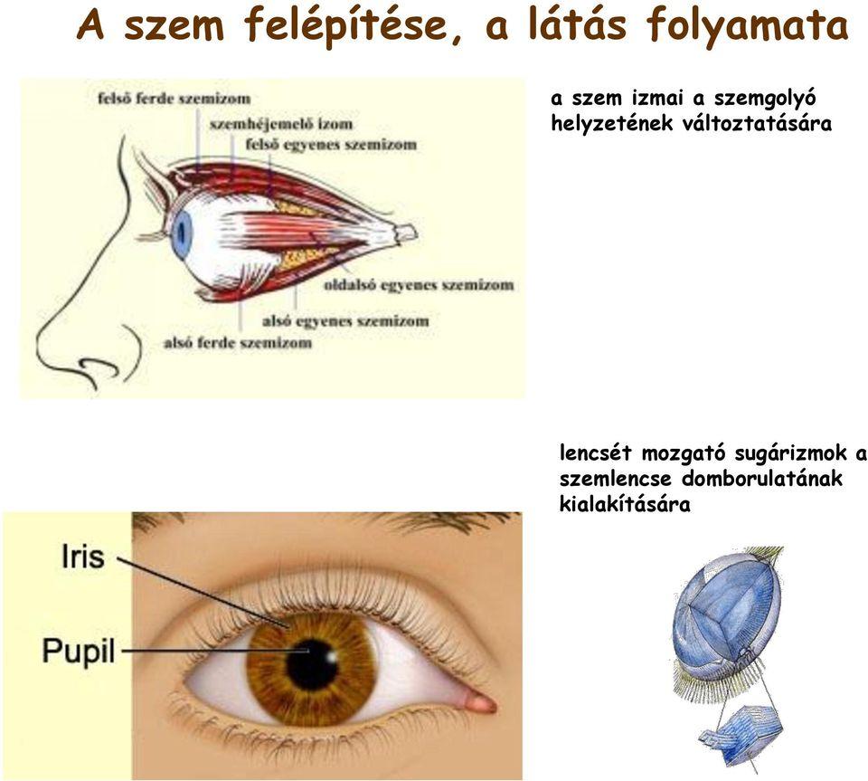 alsó és felső látás