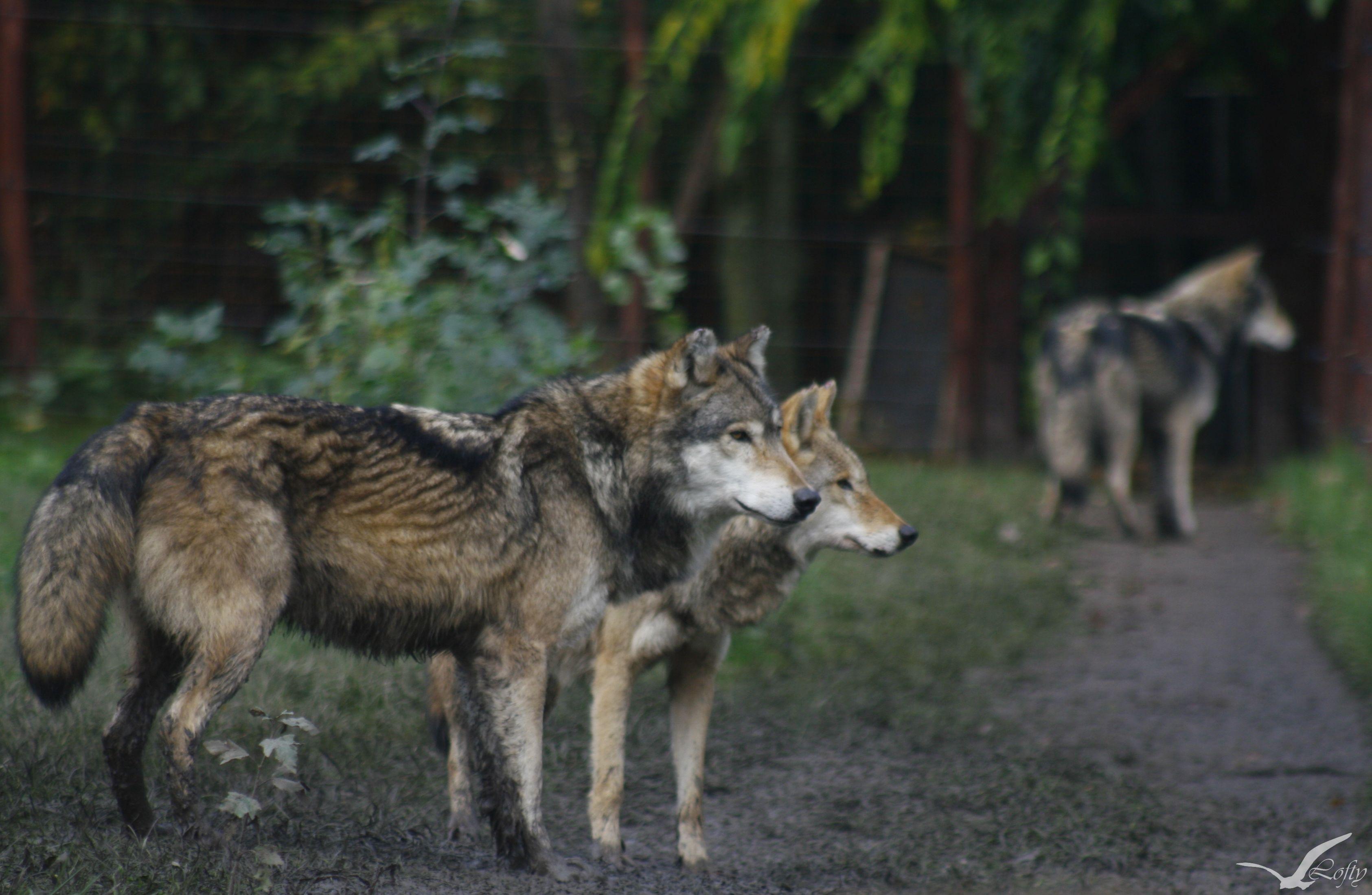 Közönséges farkas