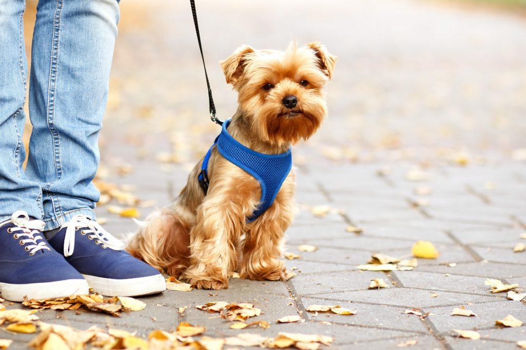 Yorkshire Terrier Betegségek - Állatok