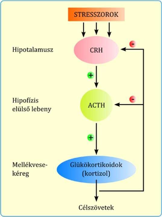 hipotalamusz látása)