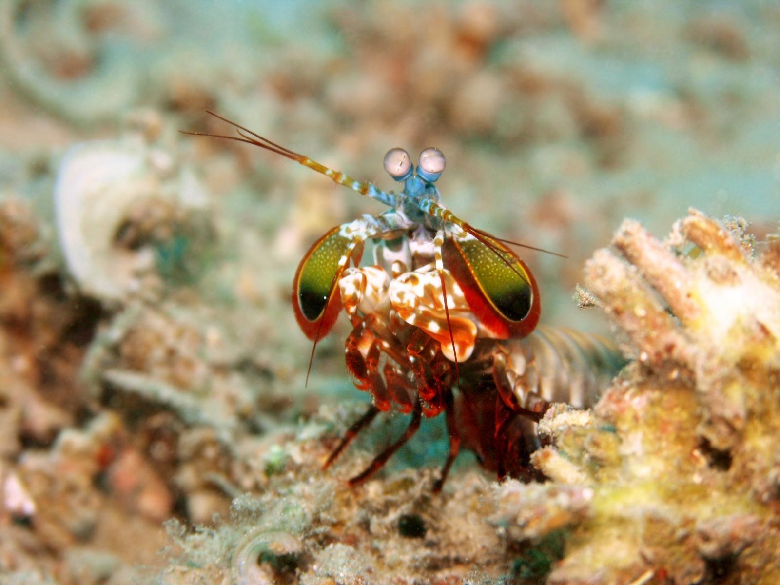 mantis garnéla látás)