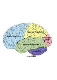 az agy látási része)
