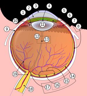 hogy hívják a látásreceptorokat