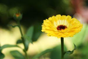 Mi mindenre jó a körömvirág? - HáziPatika