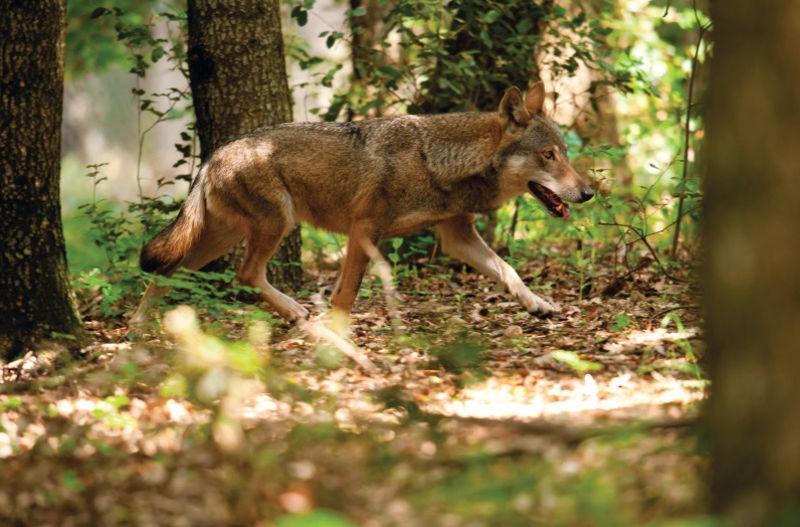 egy farkas látványáról)
