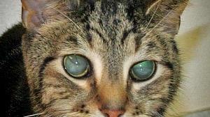 macska elveszíti látását táblázat a látásélesség mérésére otthon