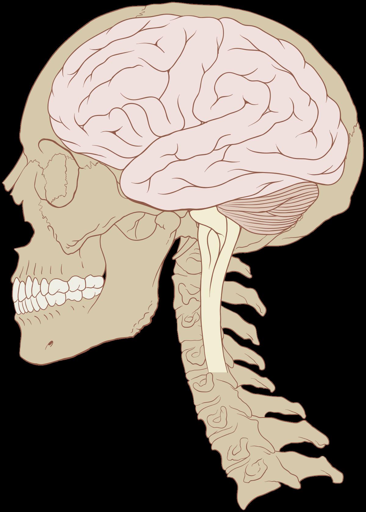kapcsolat az agy és a látás között