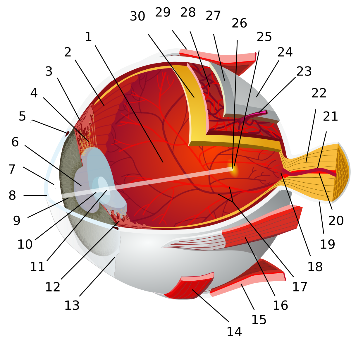 Fotoreceptor – Wikipédia