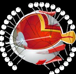 Dioptria százalékos látás