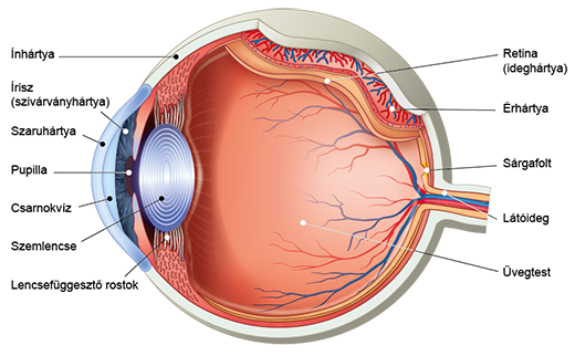Az emberi szem és a látás