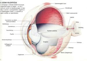 Emberi látási szervek