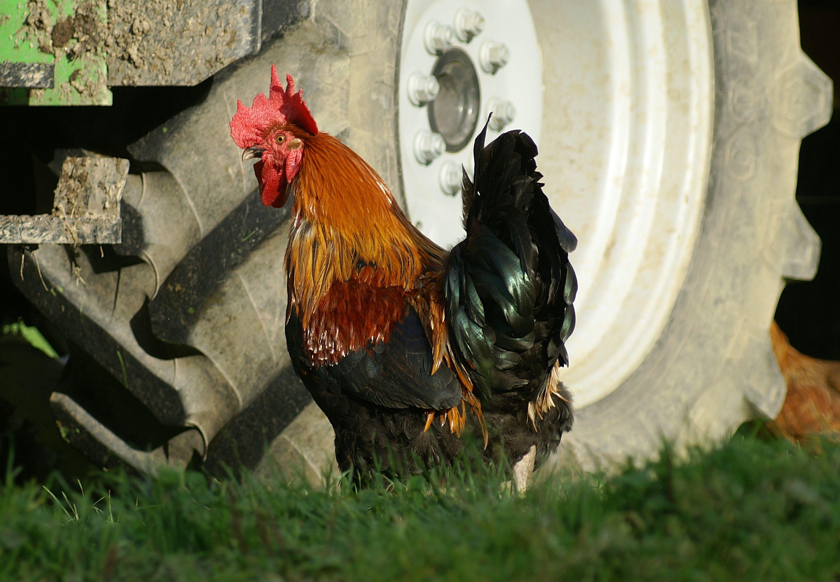 csirkék látásbetegsége)