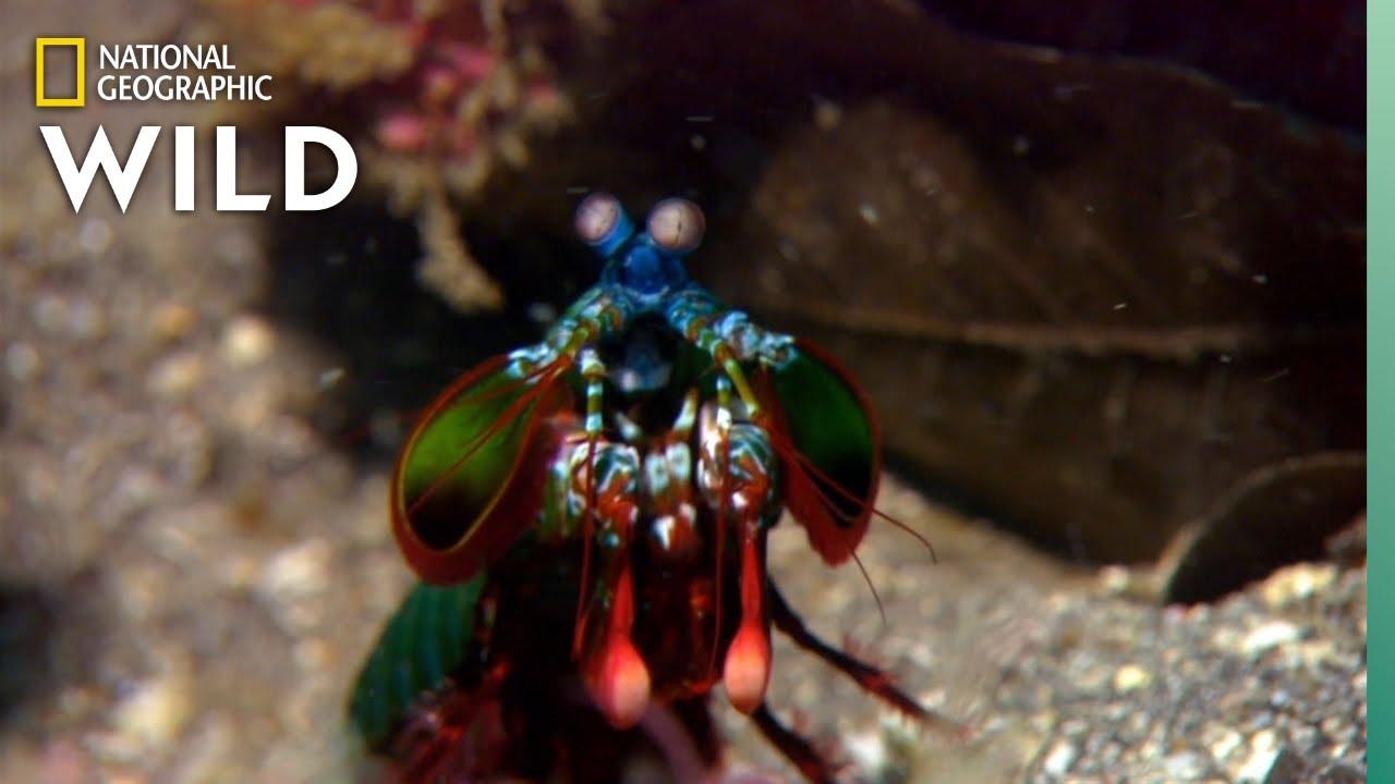 Ismerje meg az Erős garnélarák Ez összetörik akvárium üveg A Claw